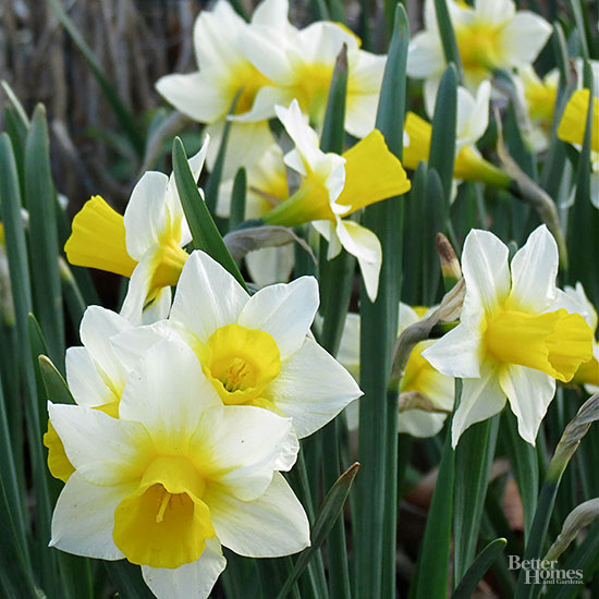 Guide to Growing Daffodils