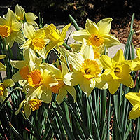 Daffodils in the Test Garden