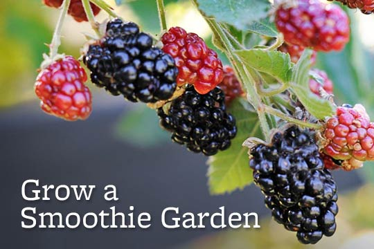 Grow a Smoothie Garden