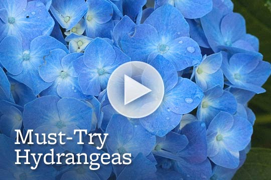Must-Try Hydrangeas