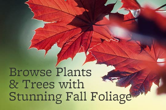 Browse Plants & Trees with Stunning Fall Foliage