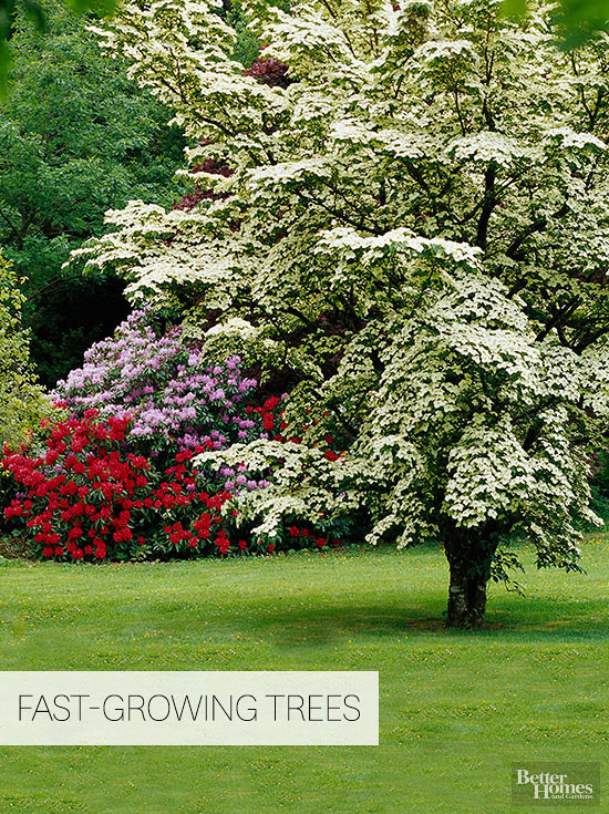 Fast growing trees for Fast growing fence covering plants