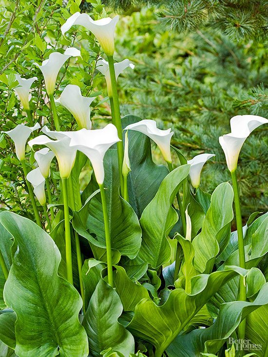 Do Calla Lilies Need to Be Dug Up for the Winter?