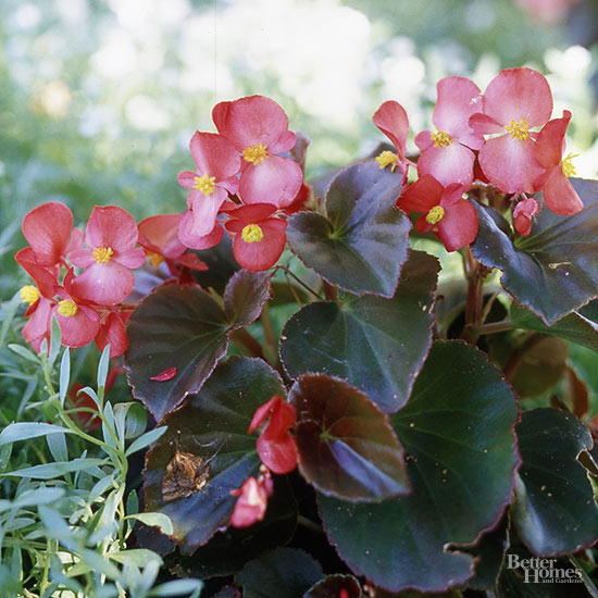 Are Begonias Annuals or Perennials?