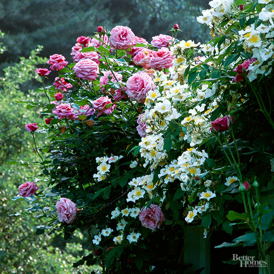 how to train rose bushes