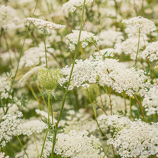 Poisonous Weed Like Queen Anne's Lace?