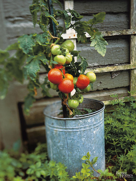 How Can I Get My Tomatoes to Blossom More Without Getting Too Tall?