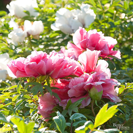 you can trim off the dead peony blooms but leave the foliage intact the plant needs all of its leaves to build up the blooms for next year - How To Cut Peonies