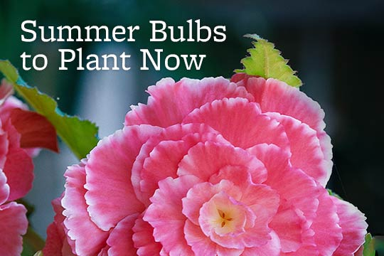 Summer Bulbs to Plant Now