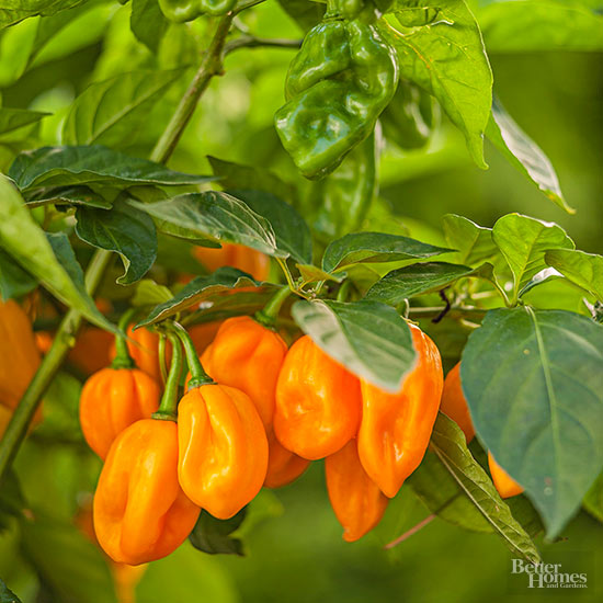 Growing Peppers to Pick a Peck (Pickling Optional)