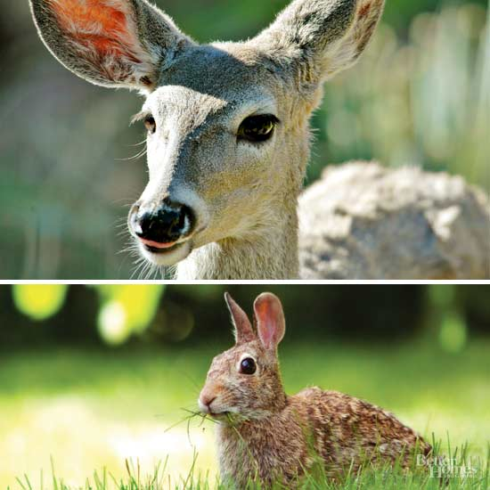 Deer- and Rabbit-Resistant Plants for Containers