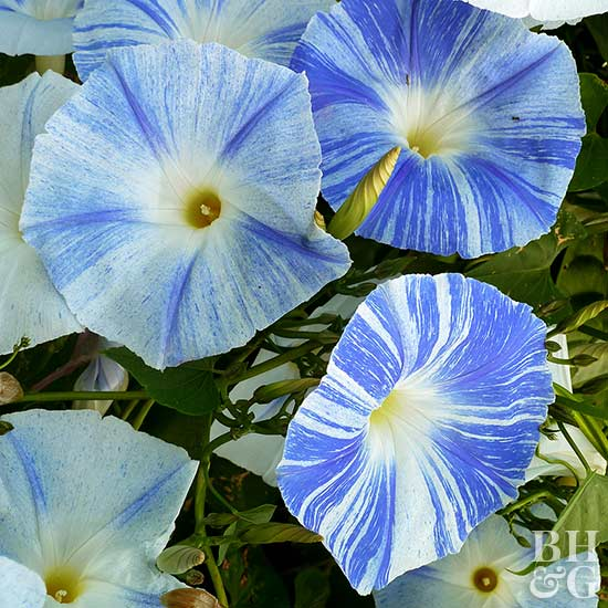 flowering vines that will stop you in your tracks, Beautiful flower