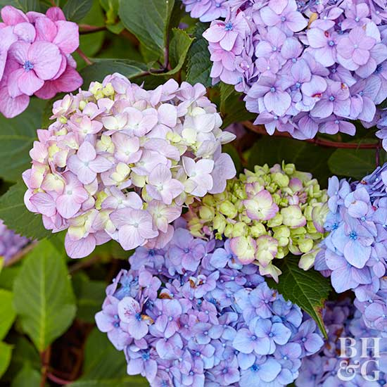 how to care for and select hydrangeas, Natural flower