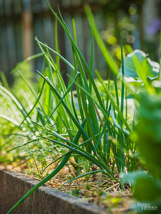 How to Grow Green Onions for Salads and More