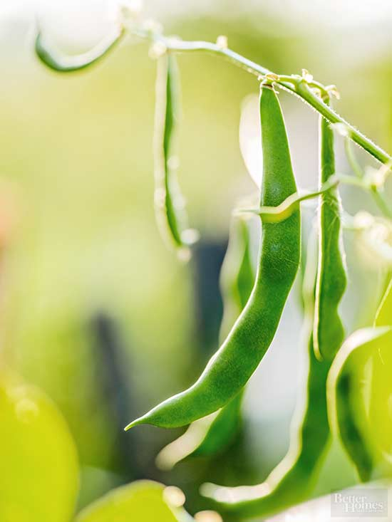 How to Grow Green Beans Your Family Will Beg For