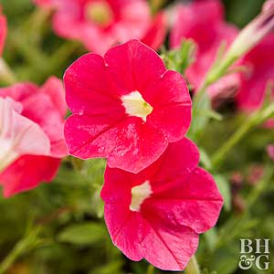 5 container annuals you cant kill - Garden Flowers
