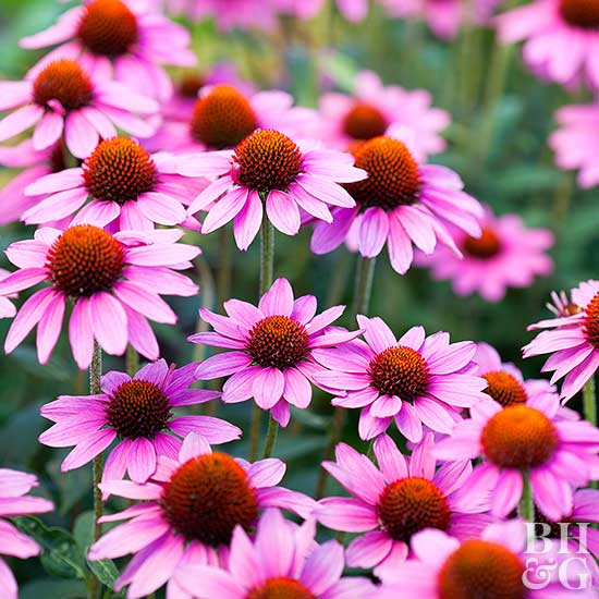 top annual flowers to grow in the shade, Natural flower