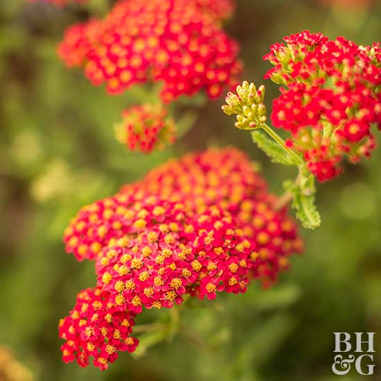 The best drought tolerant perennials - Tough perennial bloomers drought insect and pest resistant flowers ...