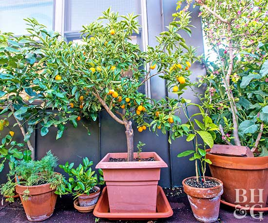 Donu0027t Squish A Tree Into Anything Smaller Than 18 Inches In Diameter.  Preferably, Choose A Pot 20 Inches Or Wider. Containers Can Be Plastic,  Terra Cotta, ...