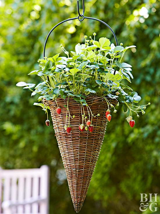 Because Of Their Small Root Systems, Strawberries Are Ideal Fruits For  Containers. Although Any Pot Thatu0027s At Least 18 Inches Wide And 8 Inches  Deep Will Do ...
