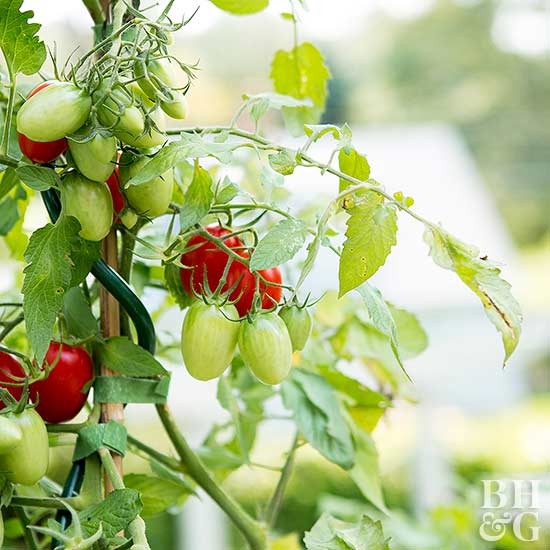 Bury The Roots And A Few Inches Of The Stem Of A Young Tomato Plant In The  Potting Mix. Unless You Are Planting Dwarf Or Patio Varieties, Add A Plant  Stake ...