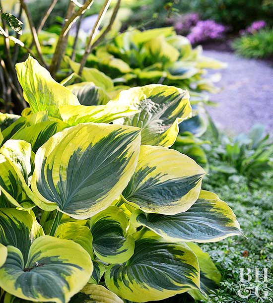 Hosta Plant Growing In Garden