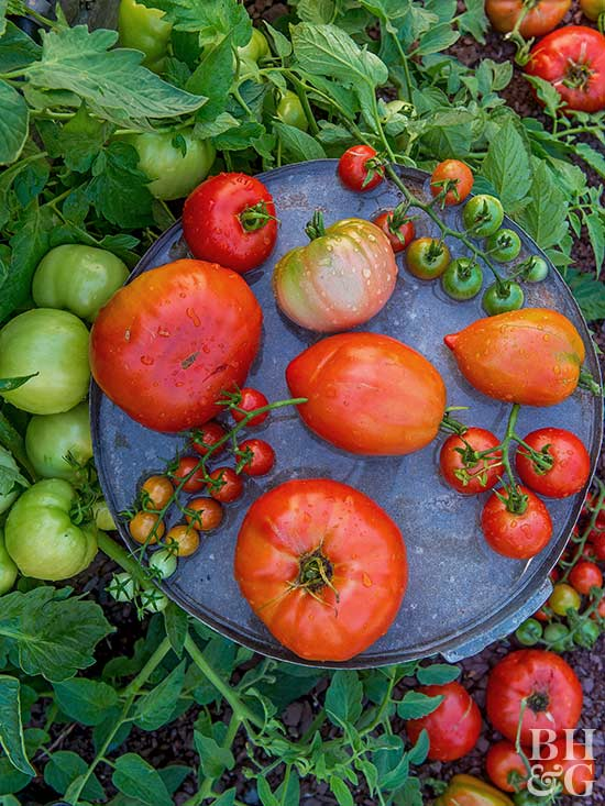 Starting a vegetable garden at home is an easy way to save money  Planting  one tomato plant can provide you with 10 pounds of fruit over the course of  a. Planning Your First Vegetable Garden