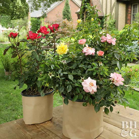 The Right Way To Plant. Roses ...