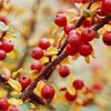 Beautiful Berry Branch