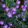 Purple Perennial Geraniums