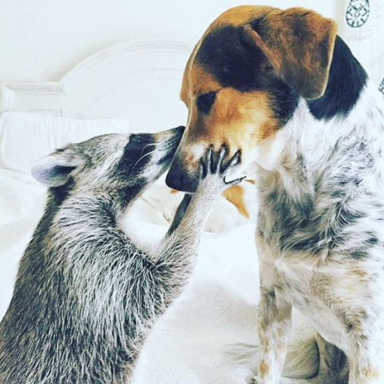 Step Aside, Dogs! This Raccoon is the New Man's Best Friend
