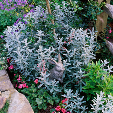 artemisia. artemisia ludoviciana \u0027silver king\u0027 is a fast-spreading variety with bright silvery-white leaves that often turn reddish in autumn. o