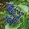 'Blue Muffin' Viburnum