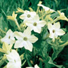 Nicotiana