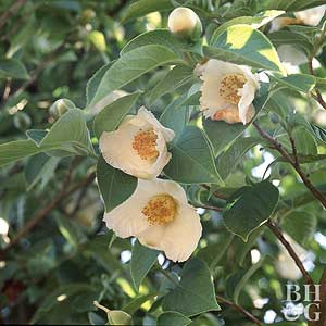 Japanese Stewartia Tree