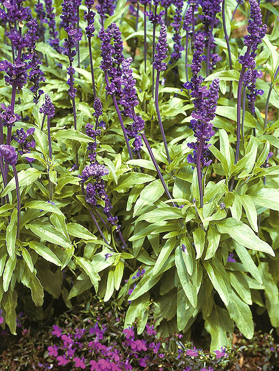 Salvia Plant Types: Growing Information And Care of Salvia ... |Salvia Plants