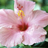Tropical Hibiscus