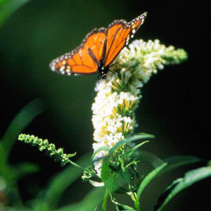 Power perennials plants that thrive no matter what garden dreams - Tough perennial bloomers drought insect and pest resistant flowers ...