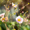 Japanese Anemone