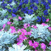 Dusty Miller and Petunias