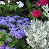 Dusty Miller, Ageratum, and Annual Vinca
