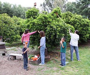 Picking oranges in the citrus groves at Heritage Park, La Verne, California