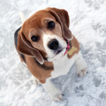 Beagle on ice