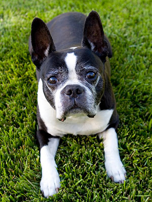 Older Boston Terrier
