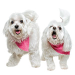 dogs with pink scarves
