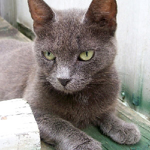 gray cat, green eyes