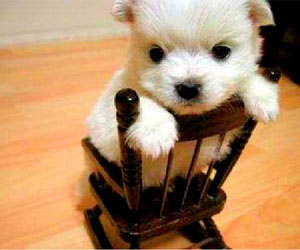 white puppy