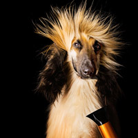 Dog getting blow-dry