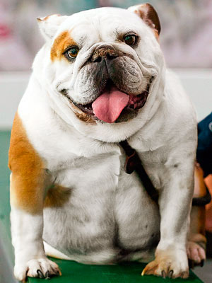 Multi-colored bulldog