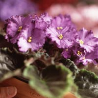 Benediction African violet